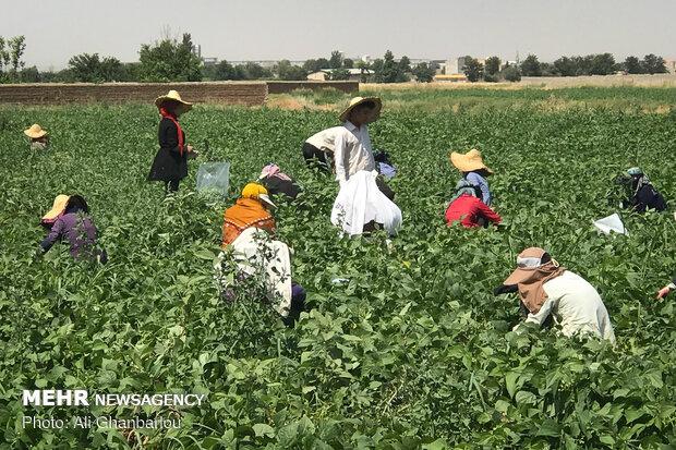 برداشت لوبیا سبز از مزارع اطراف تهران