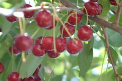 میانگین برداشت آلبالو از هر هکتار باغ در همدان ۶۰۰۰ کیلوگرم است