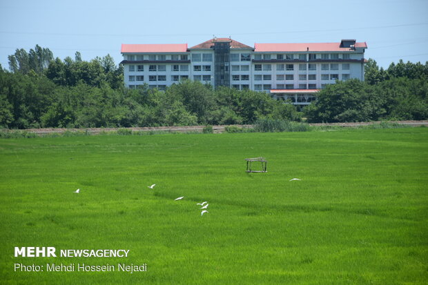 Scenic beauty of rice farms in Astara
