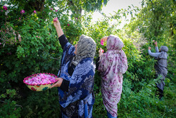 عنصرود گاؤں میں گل محمدی فیسٹیول