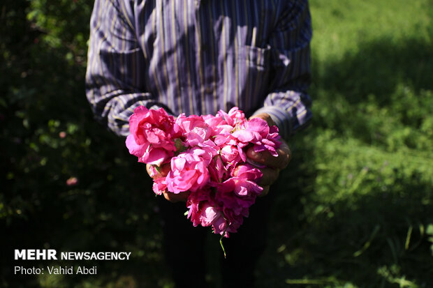 Damask rose festival in NW Iran