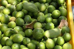 واکنش باغداران به واردات لیموترش/ خطر ورود بیماریهای نباتی جدی است