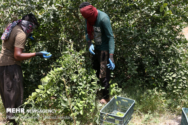 Harvesting fresh lime in orchards of Hormozgan prov.