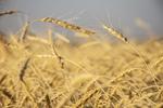 برداشت گندم  از مزارع استان مرکزی