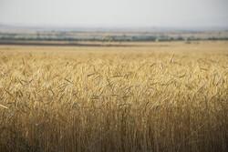 طرح « بسیج همگام با کشاورز »در مازندران آغاز شد