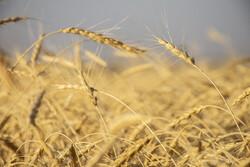 شمارش معکوس تا اتمام مهلت قانونی اعلام نرخ گندم/دولت کشاورزان را در گندمزارها نگه می دارد؟