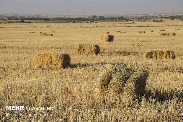 Wheat harvest in central Iran