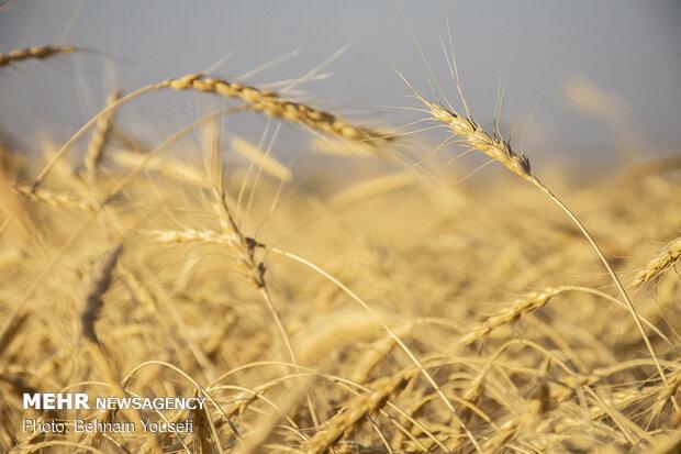 رویش امید در دل گندمکاران/دولت در نرخ خریدتضمینی گندم تجدیدنظرکرد,