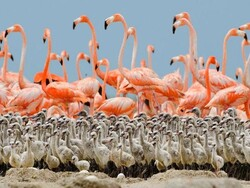 Bakhtegan wetland shrinking, flamingo chicks in danger