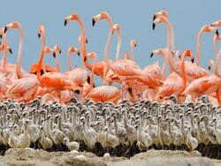 Bakhtegan wetland shrinking, flamingo chicks in danger