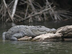 Private ownership of marsh crocodiles outlawed