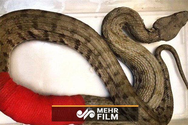 ایران کے سب سے بڑے سانپ کو ٹانکے لگانے کا منظر