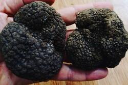 سود میلیاردی دلالان از قارچ ترافل/ طبیعت گلستان قربانی نبود نظارت