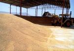 خرید گندم در زنجان ۳۰ درصد رشد دارد