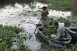 حیات دوباره رودخانه های لنگرود بعد از پاکسازی سنبل آبی