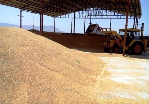 خرید بیش از ۲۰۰ هزار تُن گندم از کشاورزان لرستانی