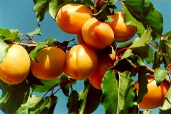 جشنواره زردآلو امسال در مرند برگزار می شود