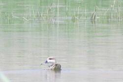 مشاهده اردک مرمریبرای اولین بار در تالاب گندمان