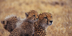 Asiatic cheetahs spotted in eastern Iran