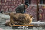 حمله شیر به نگهبان حیوانات در قزوین