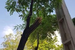قاتل درختان در شمال تهران دستگیر شد