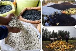 واردات تخمه های آجیلی به اسم دانه های روغنی/دولت ورود کند