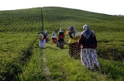 Tea harvest festival brings travelers, nature lovers together