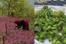 روند حمایت از تولید کنندگان فندق و گل گاوزبان مطلوب است