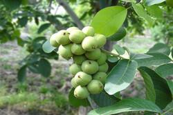 ۱۲ هزار تن گردو از باغات بافت برداشت می شود/لزوم پرهیز از فروش گردوی سبز