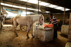 Entrepreneurship: Horse breeding in northern Iran