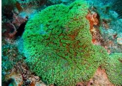 دو گونه از مرجان های سخت در سمبارون در جزیره کیش مشاهده شد