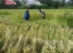 قیمت برنج در تهران باید حداکثر ۲۳ هزارتومان باشد / ضعف نظارت، عامل گرانفروشی است