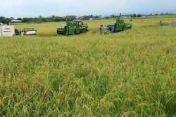 نخستین خوشه های برنج در شالیزارهای مازندران درو شد