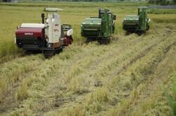 ۲.۵ میلیون تن برنج امسال در کشور تولید می شود