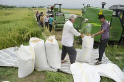 افزایش ۳ درصدی سطح زیرکشت برنج در مازندران