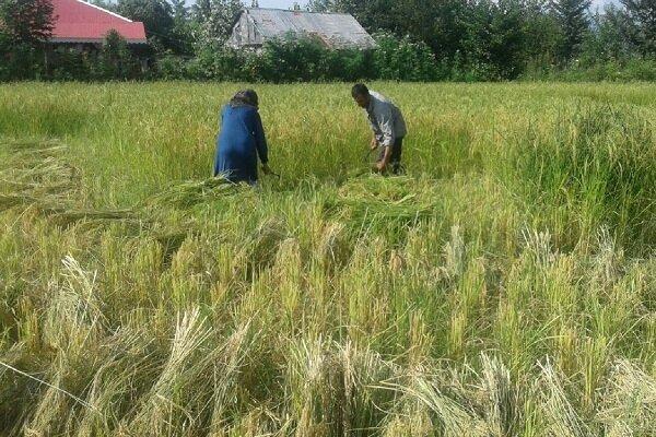 نخستین برداشت برنج از شالیزارهای ماسال و فومن انجام شد