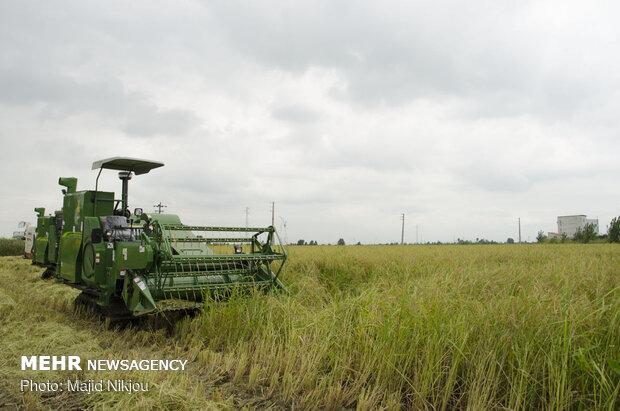 برداشت برنج در شوشتر آغاز شد