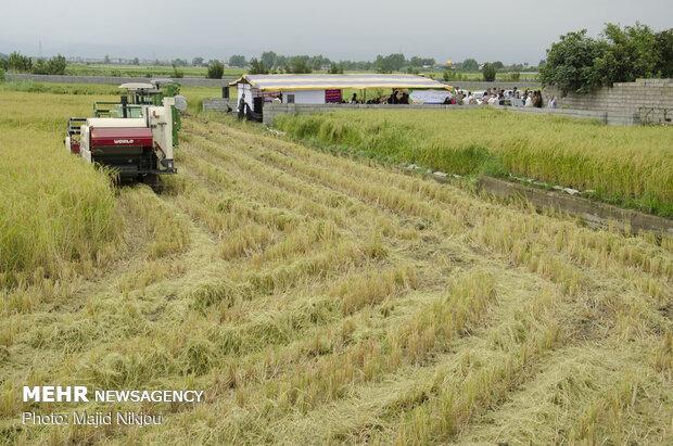 نخستین برداشت مکانیزه برنج کشور در آمل