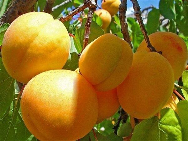 مرند قطب تولید زردآلو در کشور است