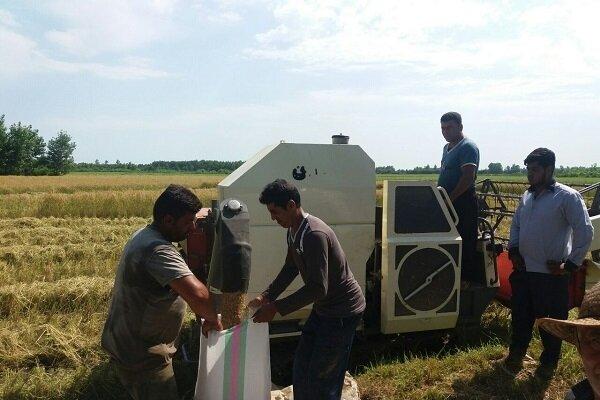 نخستین برداشت مکانیزه از شالیزارهای برنج صومعه سرا انجام شد