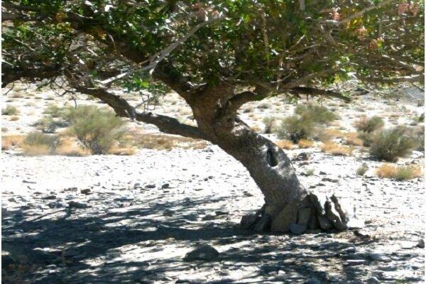 مهر گزارش میدهد؛ زخم «تشی» برتن بنه زارها/37 هزار هکتار جنگل در معرض تهدید و تخریب