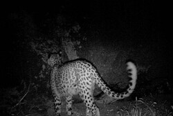 Persian leopard spotted in northern Iran
