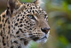 Persian leopards' natural reproduction turned unsuccessful