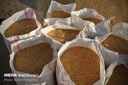 بیش از ۱۲ هزار تن گندم از روستاییان خراسان شمالی خریداری شد