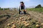 فراهم شدن صادرات۱۰هزار تن محصول سیبزمینی کشاورزان آذربایجان شرقی