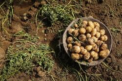 ہمدان میں آلو جمع کرنے کی فصل