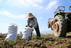 صادرات ۹۰ هزار تن سیب زمینی از اردبیل به جمهوری آذربایجان