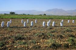 افت قیمت سیبزمینی درگلستان/کرایههای حمل کشاورزان رانقره داغ کرد