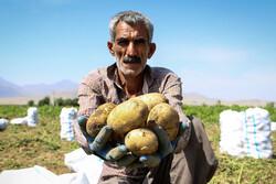 Potato harvest in Iran's Hamedan