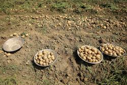 برداشت ۱۹۰ هزار تن سیب زمینی در چهارمحال و بختیاری